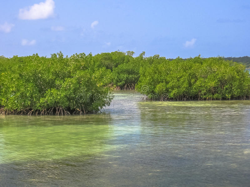 Mangrove Dominican Republic. Mangrove of Isla Saona in Parque Nacional del Este, East National Park, Dominican Republic. Saona island is one of the most popular royalty free stock image