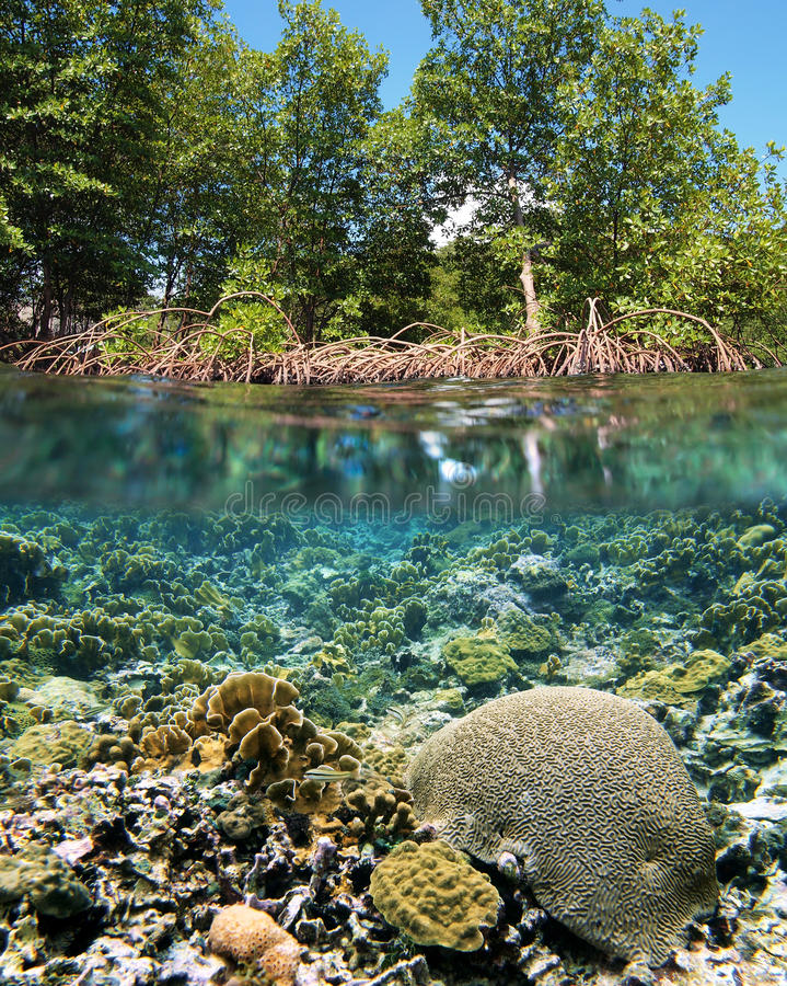 mangrove ecosystem Mangroves are generally small scrubby trees supported by prop roots there are  many species of mangrove plant though mangrove species often look the.