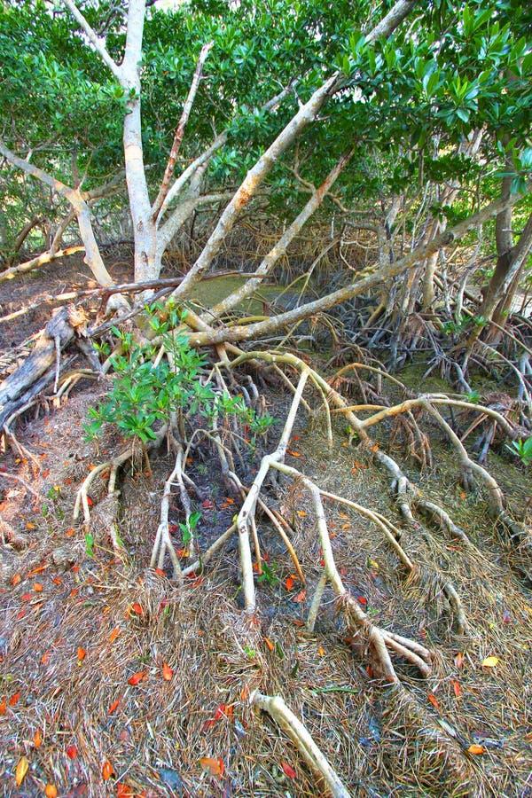 Mangrove Ecosystem Everglades royalty free stock photography