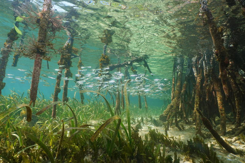 Mangrove ecosystem underwater with school of fish stock images
