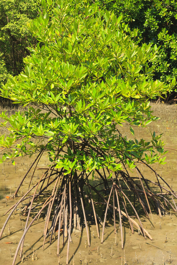 Mangrove en Wortels royalty-vrije stock foto's