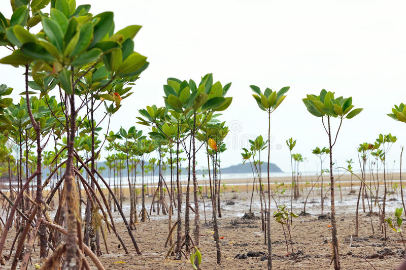 Mangrove en Wortels royalty-vrije stock foto