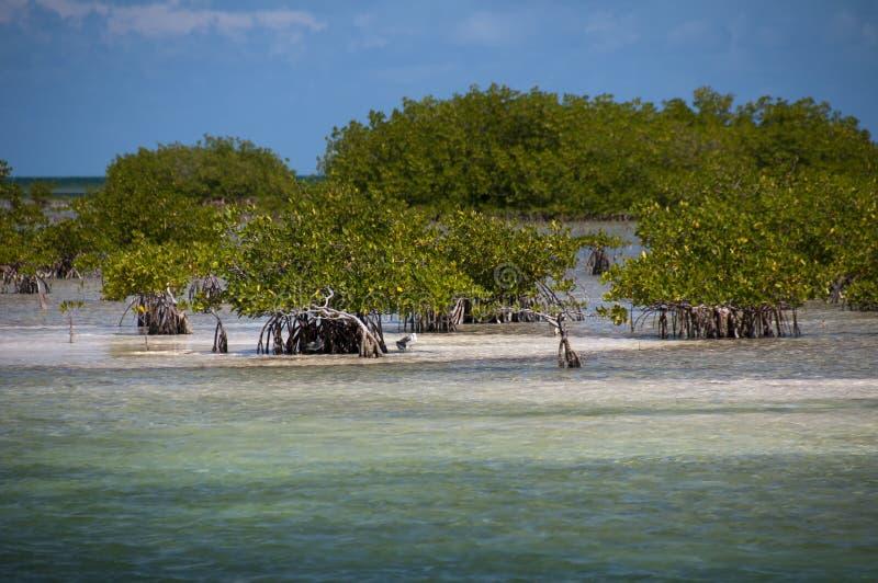 Mangrove fields near Cayo Blanco, Cuba stock photos
