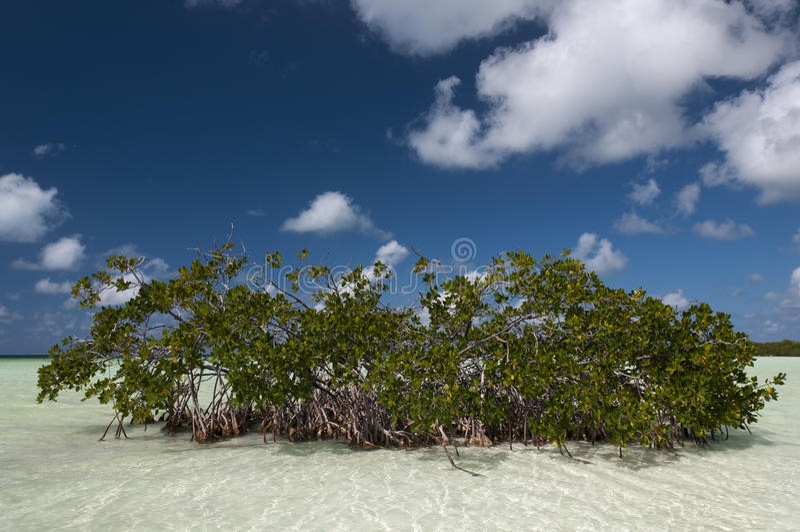 Mangrove fields near Cayo Blanco, Cuba stock photo