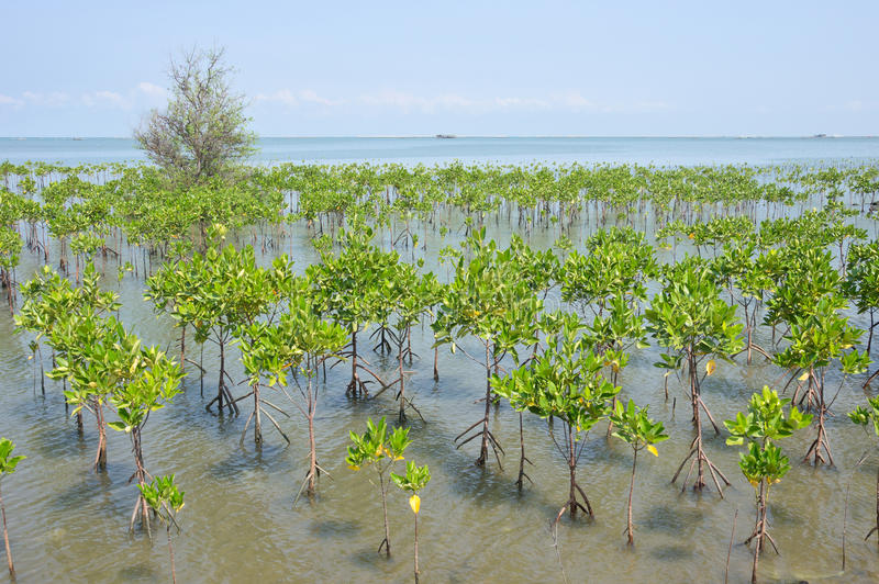 Mangrove fores. Young mangrove forest at seaside stock photos
