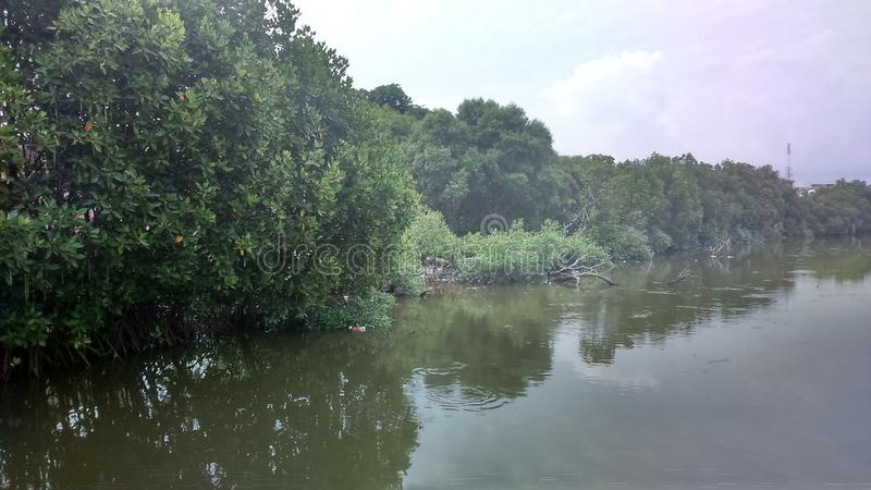 The mangrove forest aceh stock photo