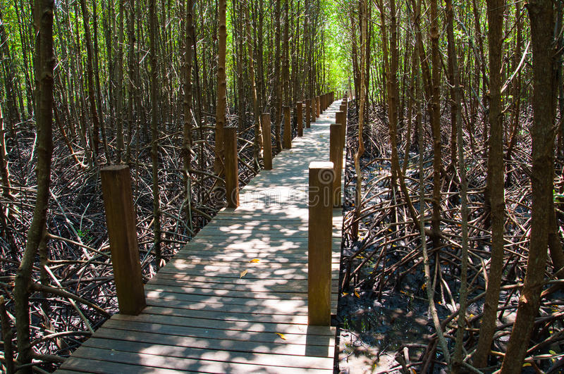 Mangrove forest bridge royalty free stock photo