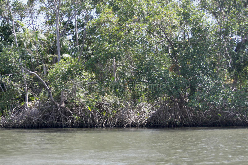 The mangrove. Is a forest formed in the meeting of fresh water with salt water, in a soil with the consistency of mud; as the plants grow, the trees tilt and royalty free stock photography