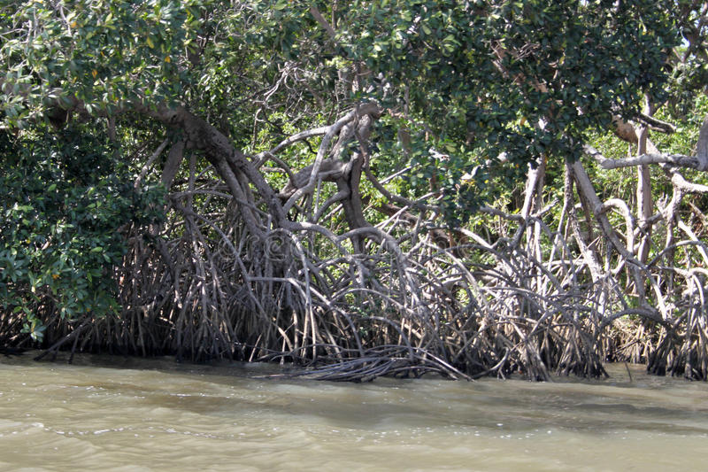 The mangrove. Is a forest formed in the meeting of fresh water with salt water, in a soil with the consistency of mud; as the plants grow, the trees tilt and royalty free stock image