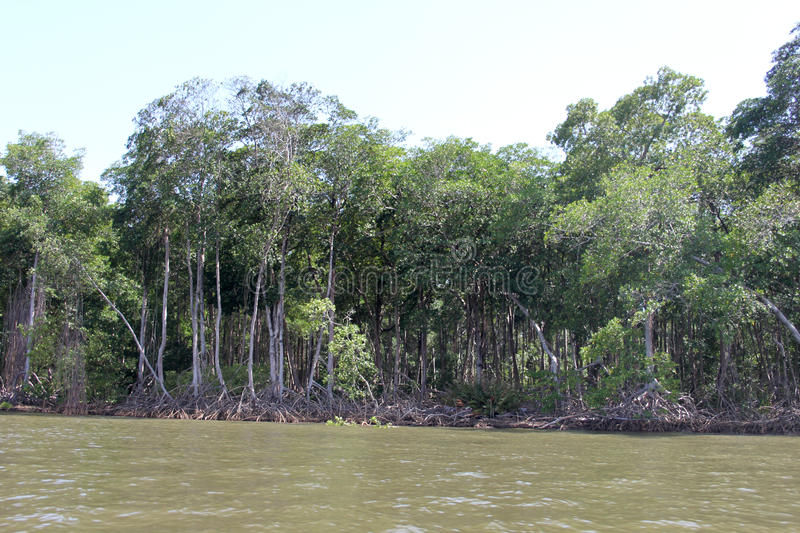 The mangrove. Is a forest formed in the meeting of fresh water with salt water, in a soil with the consistency of mud; as the plants grow, the trees tilt and stock images