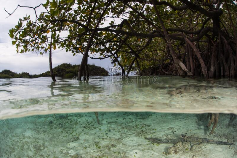 Mangrove Forest i Raja Ampat royaltyfri foto