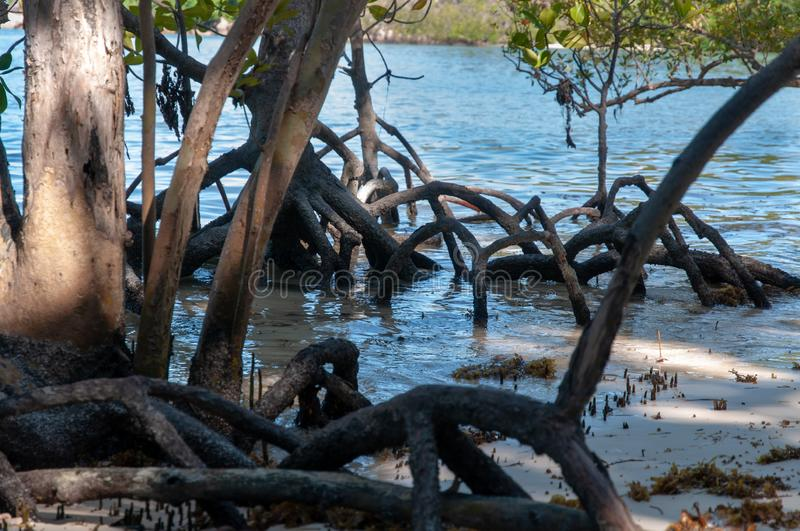 Mangrove forest with low tide. Curieuse Island, Seychelles stock photo