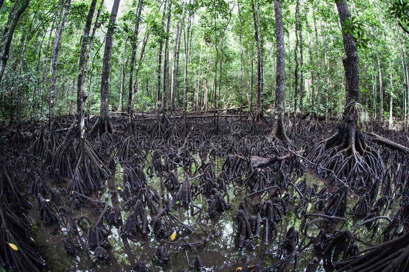 Mangrove Forest at Low Tide in Raja Ampat. Mangrove trees thrive on the edge of an island in Raja Ampat, Indonesia. This remote, tropical region is known for its stock photo