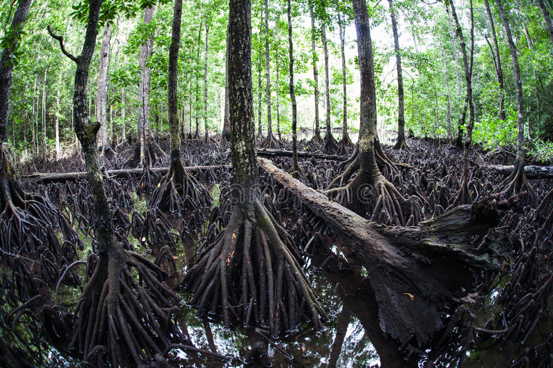 Mangrove Forest in Raja Ampat. Mangrove trees thrive on the edge of an island in Raja Ampat, Indonesia. This remote, tropical region is known for its stock photography