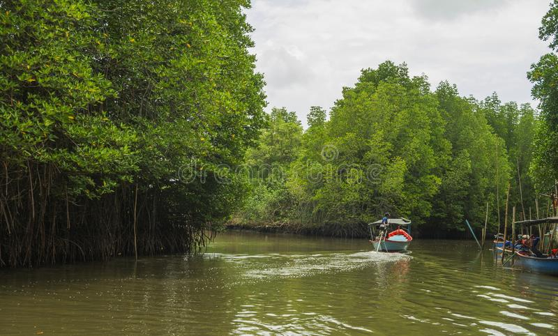 Mangrove forest and roots with river. Mangrove forest scence and roots with river stock image
