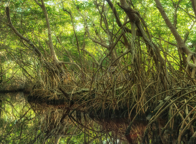 Mangrove forest in Sian Kaan, biosphere reserve, Quintana Roo, Mexico. Mangrove forest in Sian Ka`an, biosphere reserve, Quintana Roo, Mexico royalty free stock image