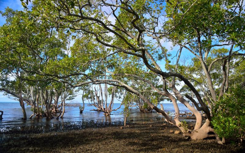 Mangrove forest. stock photo