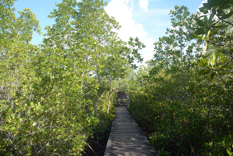 Mangrove forest with Walk way. Mangrove forest with wood Walk way royalty free stock photography