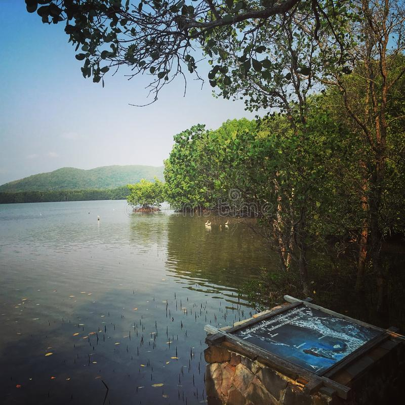Mangrove forests, Lake stock images
