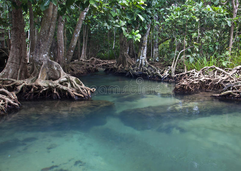 Mangrove forests with river royalty free stock image
