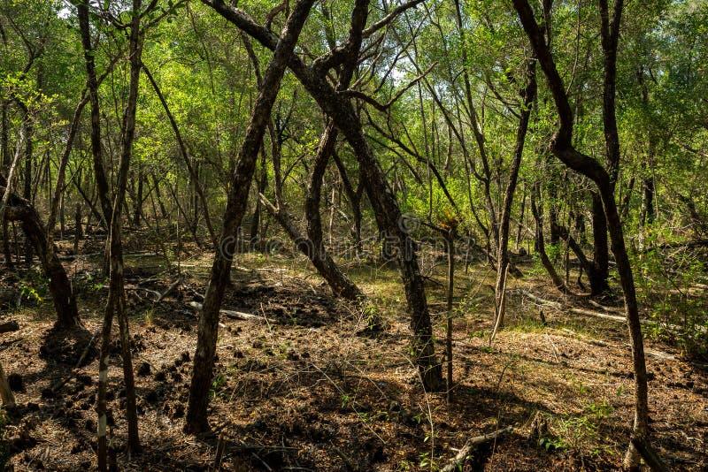 Mangrove gröna Karimun Jawa royaltyfri foto