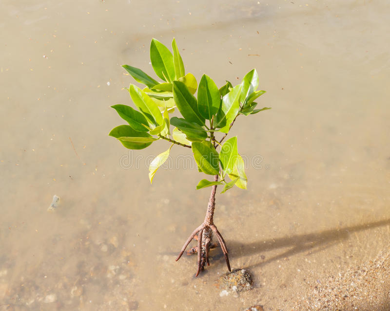 Mangrove growing in nature royalty free stock image