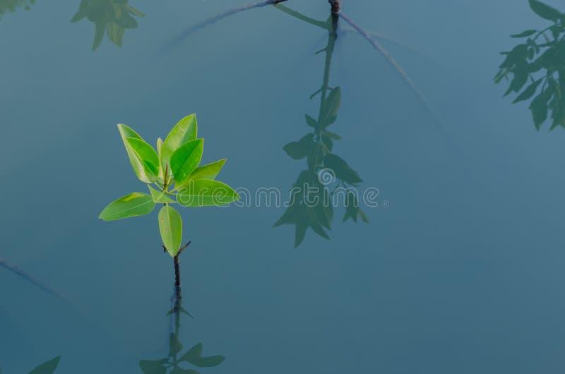 Mangrove het planten royalty-vrije stock foto