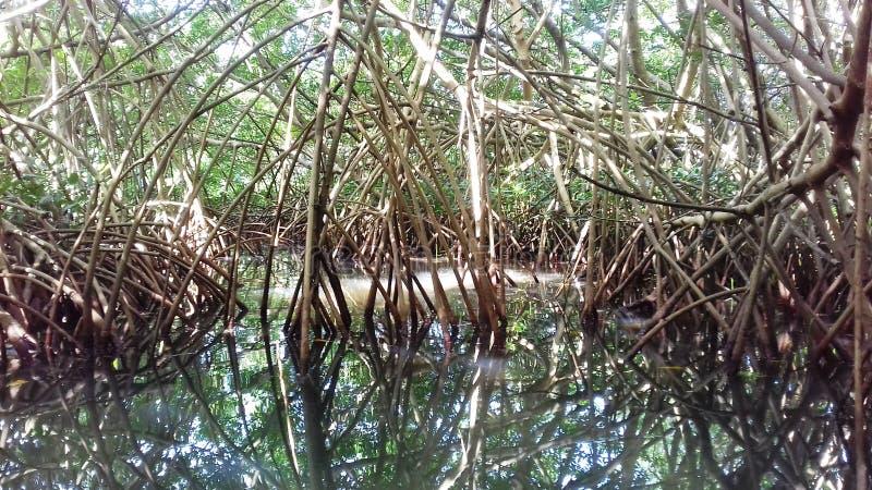 Mangrove in Moule in Guadeloupe royalty-vrije stock fotografie
