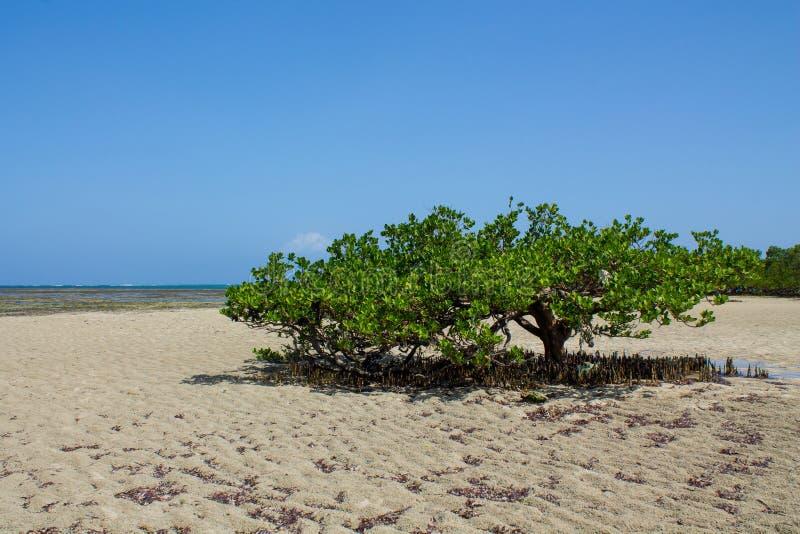 Mangrove op een zandig strand door de oceaan stock foto's
