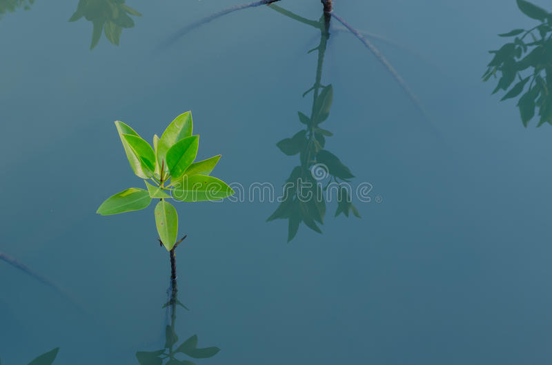 Mangrove planting royalty free stock photo