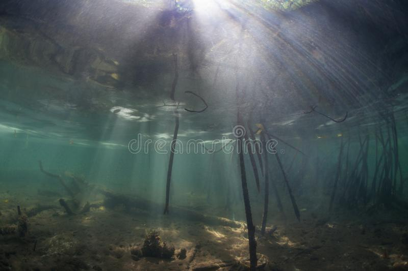 Mangrove Prop Roots and Sunlight in Raja Ampat. Mangrove prop roots reach towards the shallow seafloor in Raja Ampat, Indonesia. Mangrove forest are ecologically royalty free stock photo