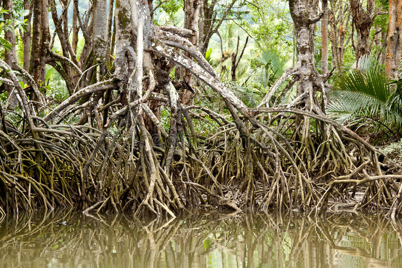 Mangrove and rain forests in Borneo stock images