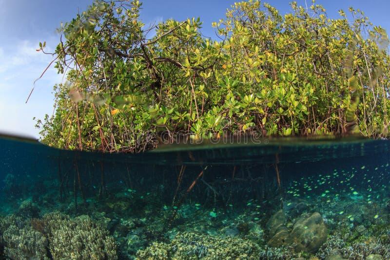 Mangrove and the reef,Raja ampat,Indonesia. Split shot of Blue water mangrove in Yanggefo island,Raja Ampat,Indonesia royalty free stock photography