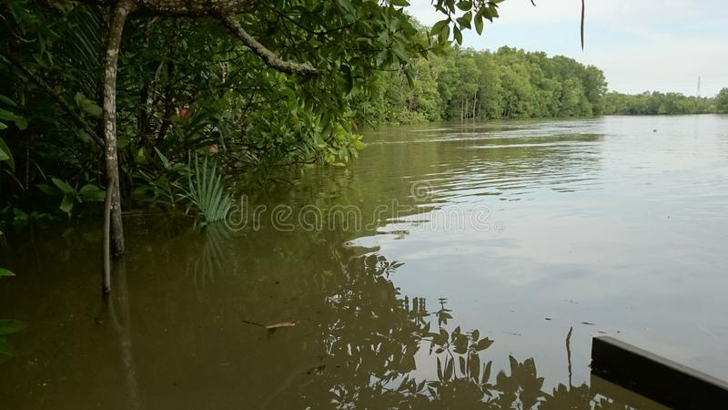 A mangrove royalty free stock photography