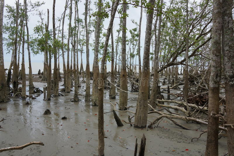 Mangrove in Sundarban National Park stock photos