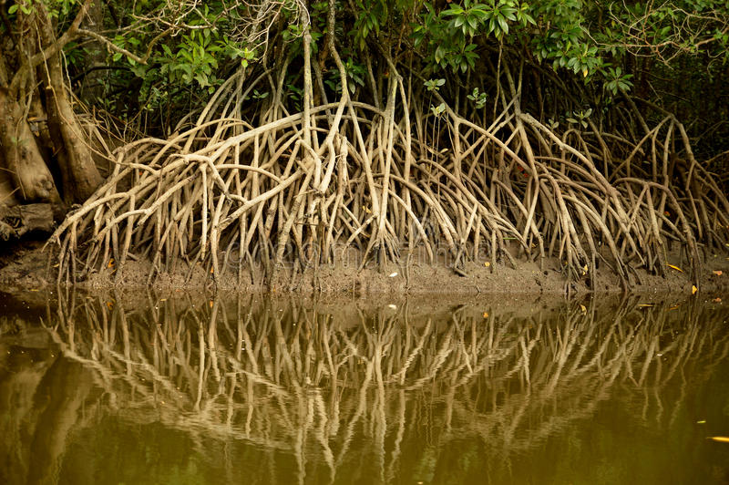 Mangrove swamp reflections in Malaysia. stock image