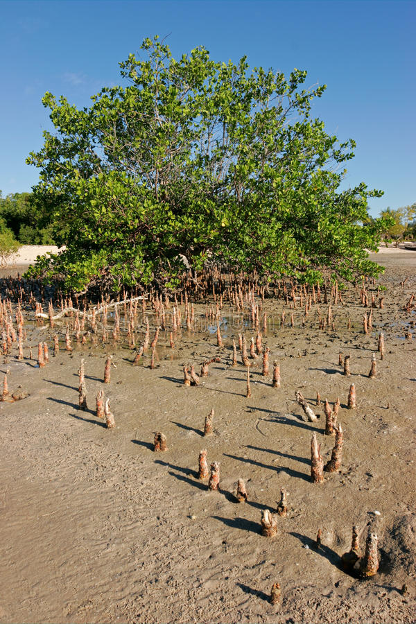 Download Mangrove tree stock image. Image of landscape, southern - 24750665