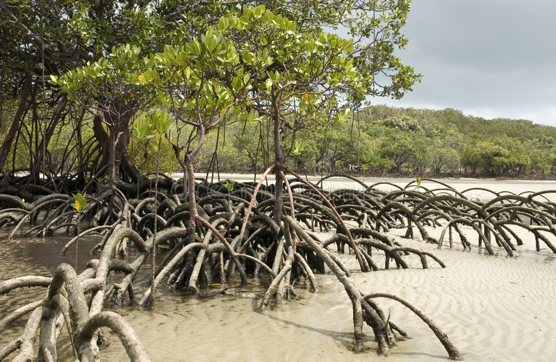 Download Mangrove tree stock photo. Image of ladscape, travel, sand - 517846