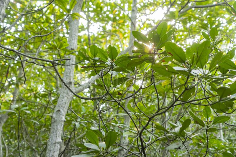 The mangrove tree canopy. With the sky bakground wallpaper stock image