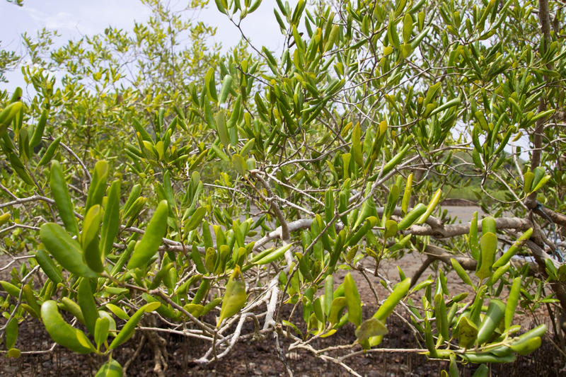 Mangrove tree stock image