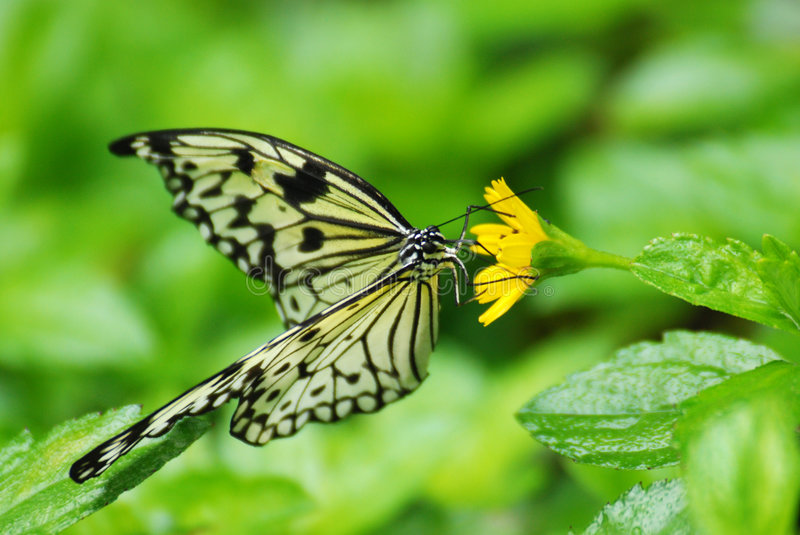 Download Mangrove Tree Nymph Butterfly Stock Image - Image: 7106065