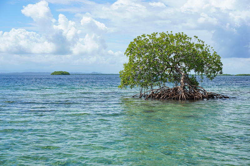 Mangrove tree in water with island at the horizon stock photo