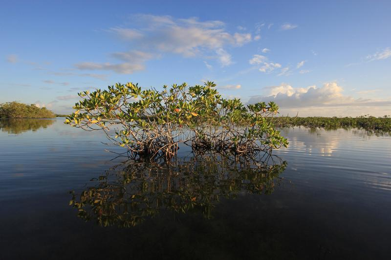 Mangrove trees of Barnes Sound, Florida. royalty free stock images