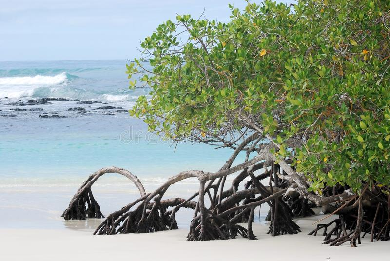 Mangrove trees growing at beach Galapagos Island. Mangrove trees growing at the beach Tortuga Bay - Santa Cruz – with low tide and waves - Galapagos stock images