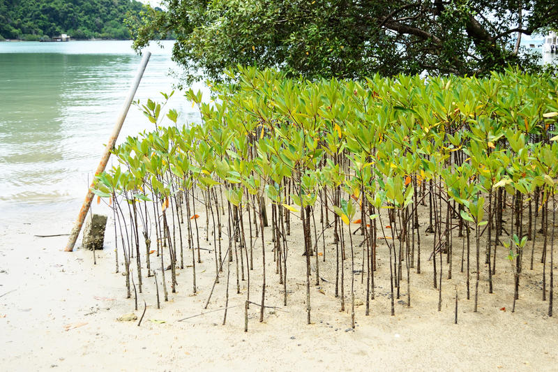 Mangrove trees royalty free stock image