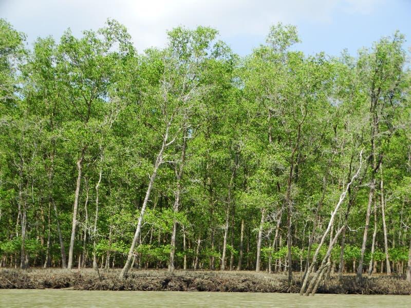 Mangrove trees in water, Bako National Park. Sarawak. Borneo. Malaysia stock photos