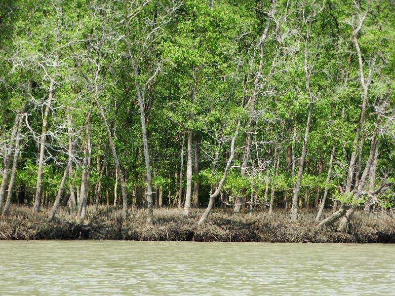 Mangrove trees in water, Bako National Park. Sarawak. Borneo. Malaysia royalty free stock images