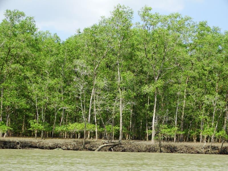 Mangrove trees in water, Bako National Park. Sarawak. Borneo. Malaysia royalty free stock photos