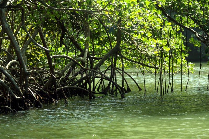 Mangrove-Wald lizenzfreies stockbild