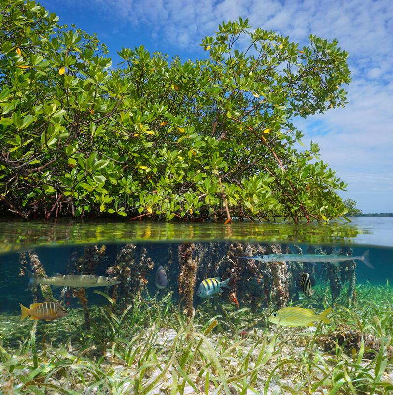 Free Mangrove With Tropical Fish Over Under Water Royalty Free Stock Photo - 177687655